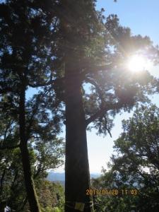 階段まえの槇の大木