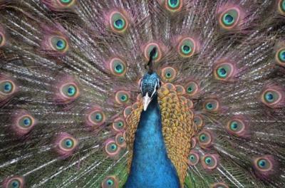 peacock_convert_20161225071659.jpeg
