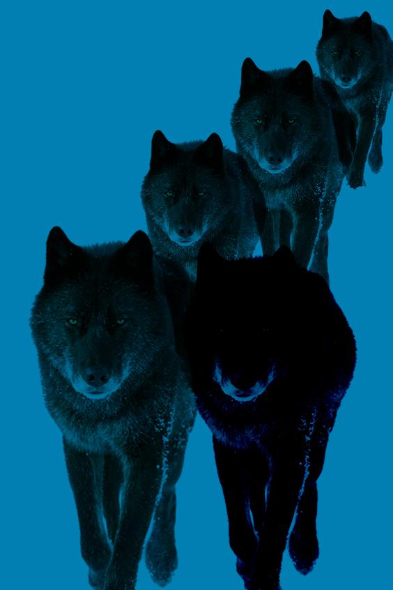 黒いオオカミの群れ