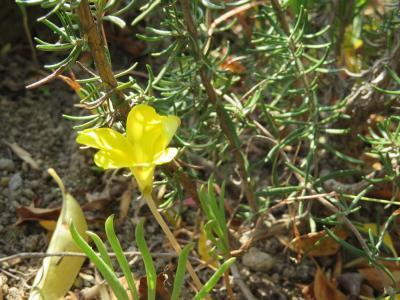161106オキザリス黄色