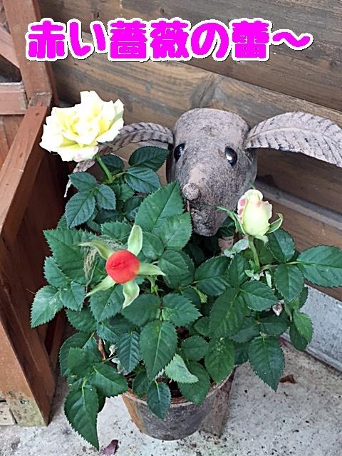 2赤いバラのつぼみ