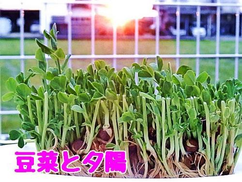 豆菜と夕陽
