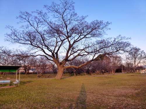 大きな木1