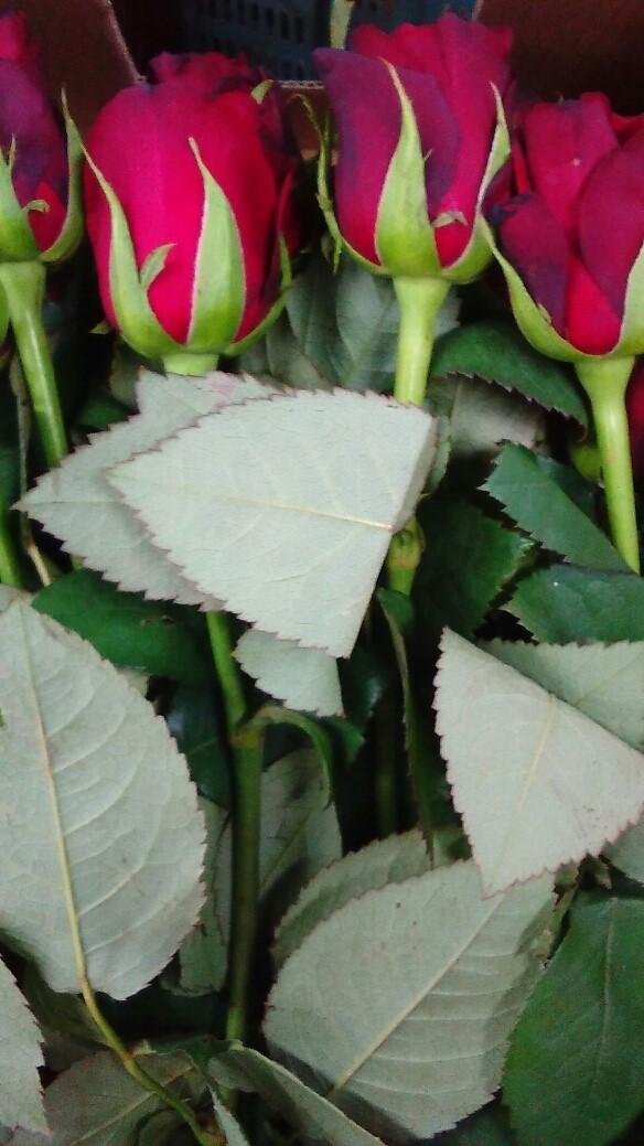 0120薔薇