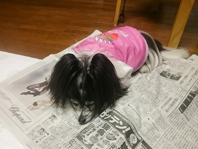 新聞を布団と勘違いしている犬-1