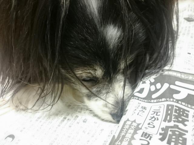 新聞を布団と勘違いしている犬-4