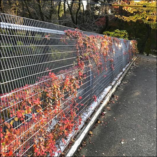野川公園 東八道路上の紅葉