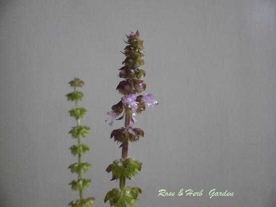 ホーリーバジル花