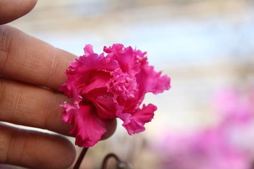 シクラメン 交配 フリル咲き バラ咲き 八重咲き 松原園芸