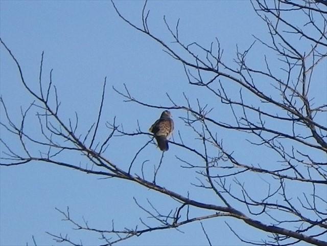 駐車場で見かけた野鳥-2