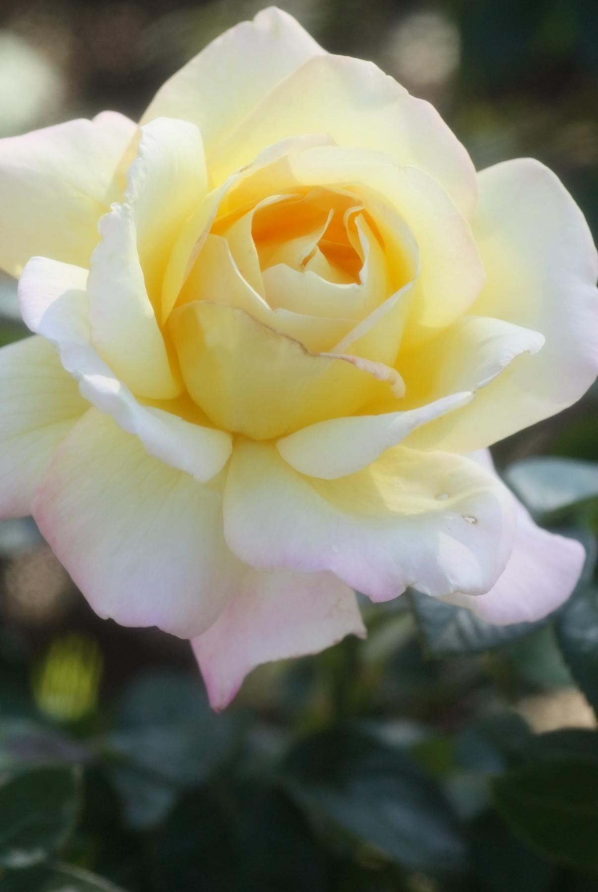 Rosa Peace