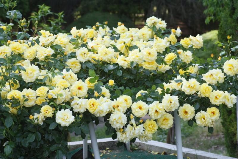 Rosa Evergold