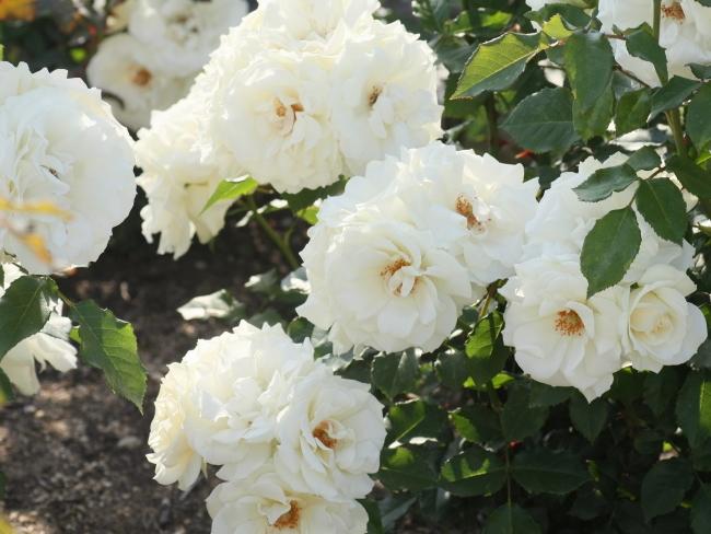 Rosa Edelweiss