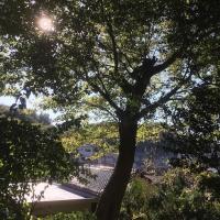 窯垣の小径 大きな樹
