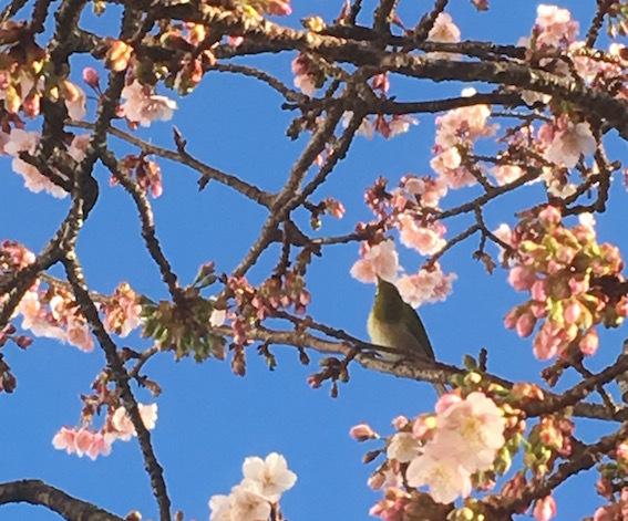 トリと熱海桜