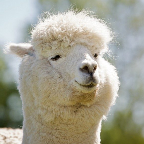 cute-alpaca-photos-01-580x580.jpg