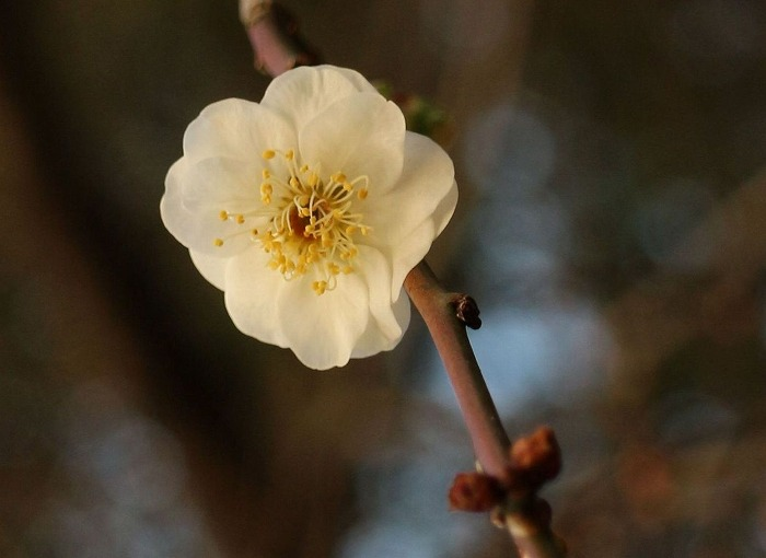 枝垂れ白梅4~5輪咲き 29.1.4
