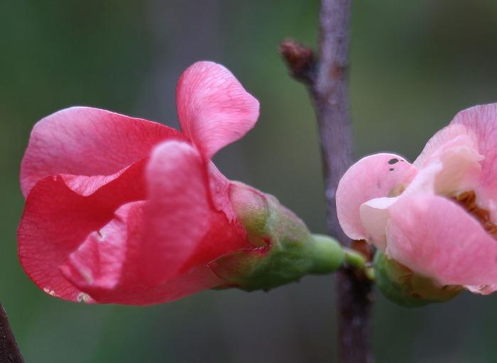 寒ボケの花 29.1.10