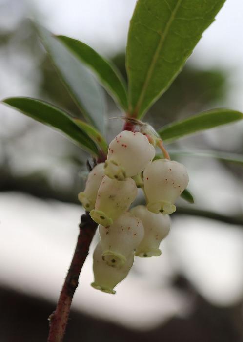 白花姫いちごの木の花 29.1.10