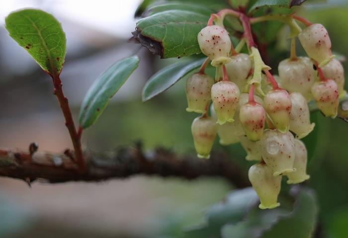 白花姫いちごの木 花が 29.1.10