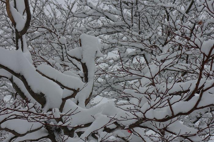上野が丘公民館の前の木の雪 29.1.21