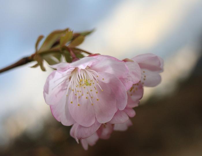 桜 河津桜かな? 29.1.24