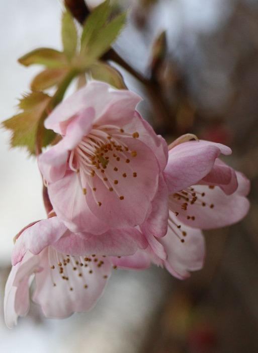 河津桜かな 咲いてる 29.1.24