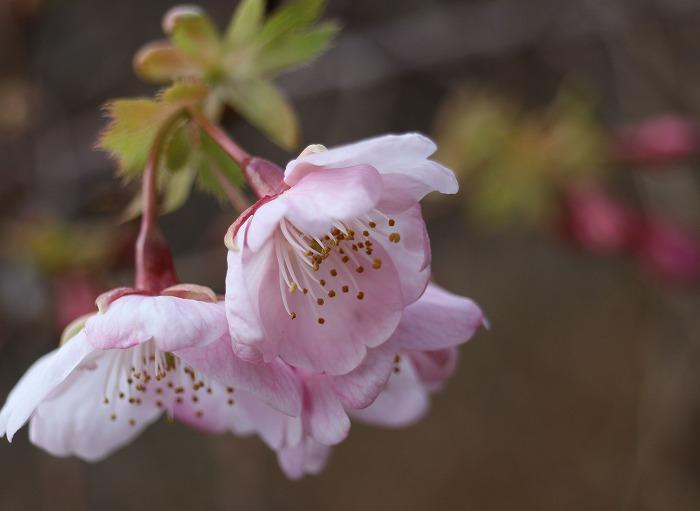 河津桜やと思う 爺神山 29.1.24