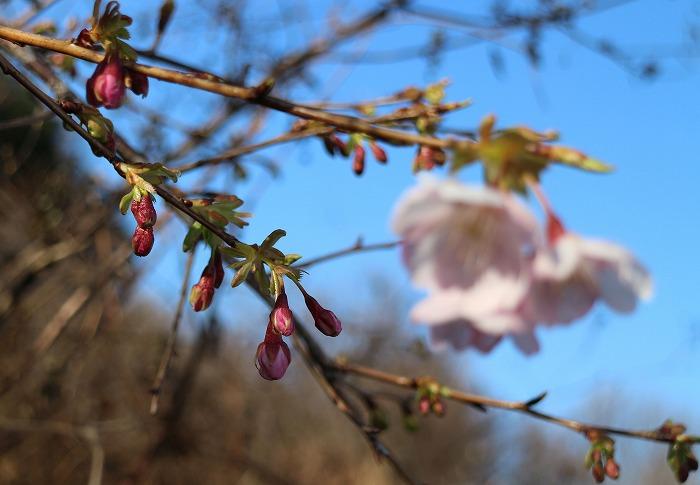桜の蕾膨らんで 29.1.25