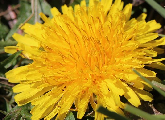 タンポポの花 29.2.1