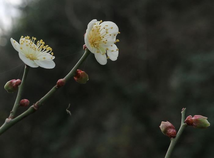 白梅咲いて 爺神山 29.1.2