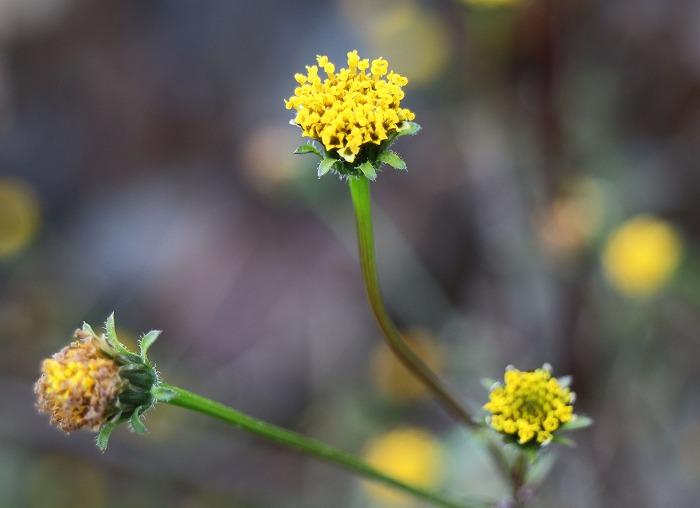 コセンダングサの花 29.1.9