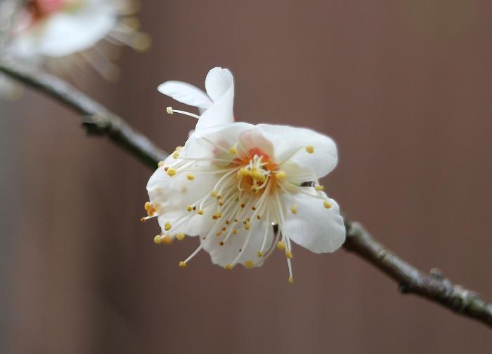 小さい木の白梅咲いてる 29.1.10
