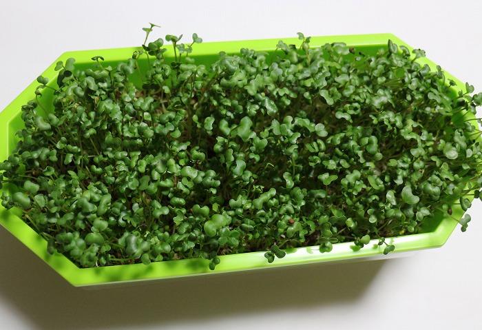 ブロッコリーの芽 29.2.7