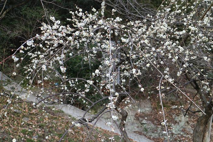 枝垂れ梅満開 29.2.10