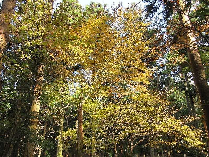 IMG6110JPG林の黄葉