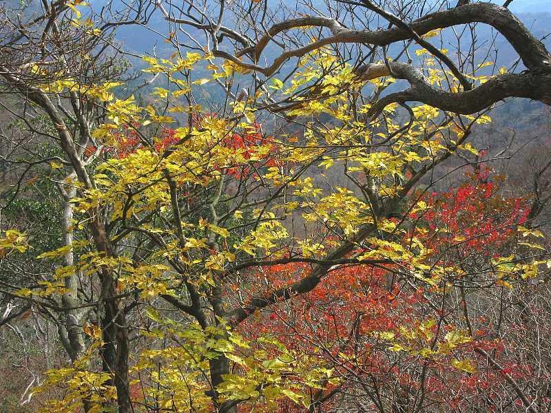 IMG6146JPGシオジの森の紅葉