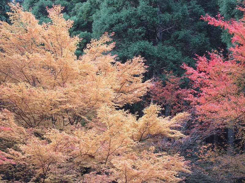 IMG6054JPG黄紅葉が綺麗です
