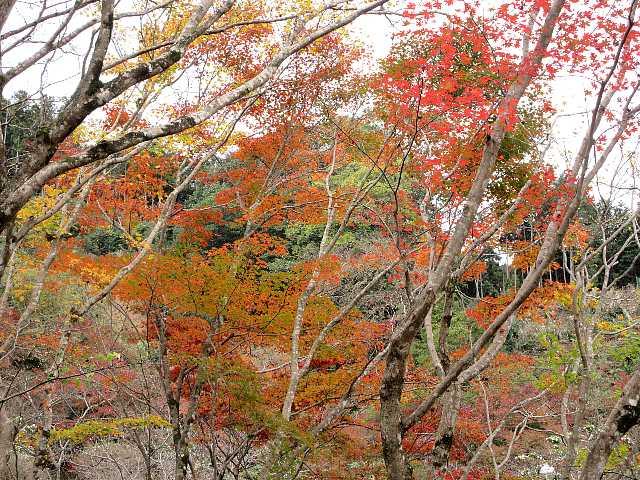 IMG6332JPG高木の紅葉