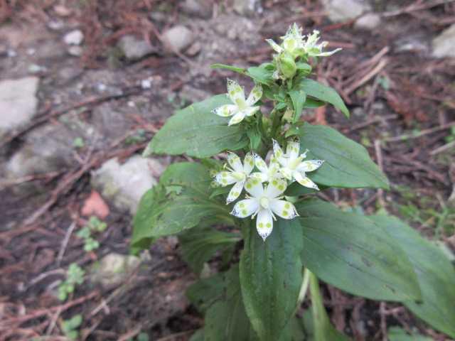 IMG6534JPGアケボノソウが咲いている