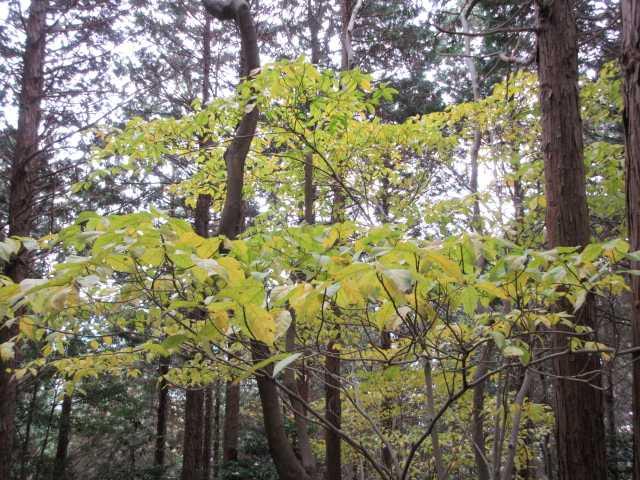 IMG6542JPG林の黄葉