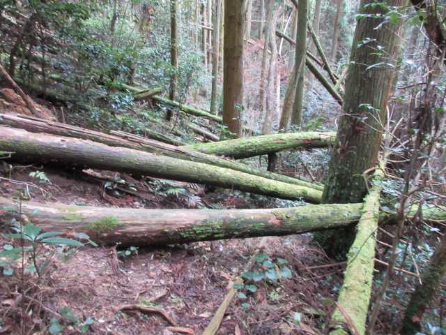 IMG6718JPG倒木地を下る