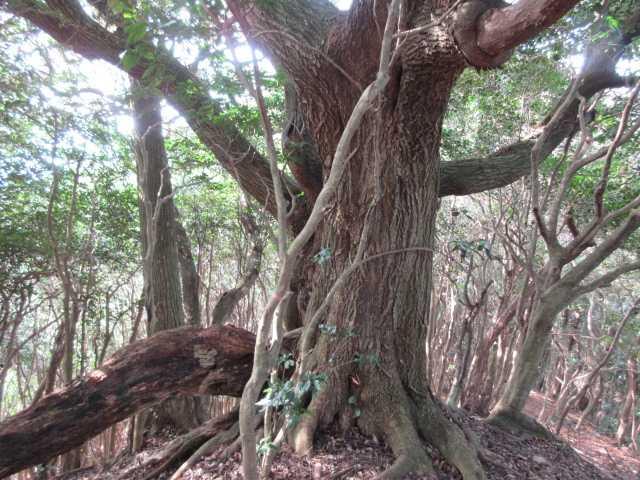 IMG6760JPG巨木
