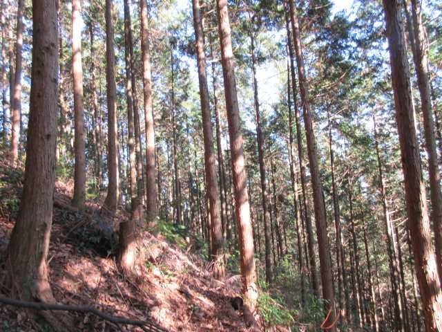 IMG7140JPG急登の植林地