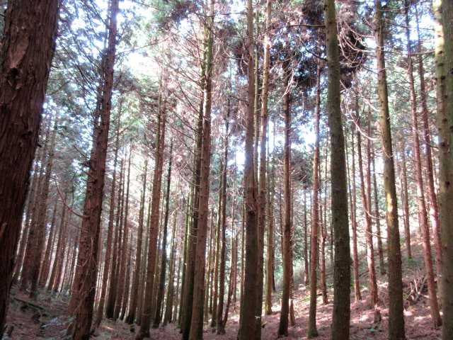 IMG7595JPG檜林を下る