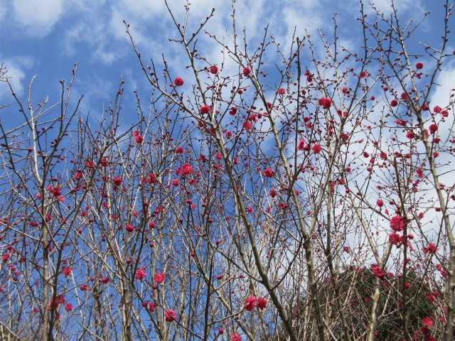 IMG7640JPG紅梅が咲き始めた