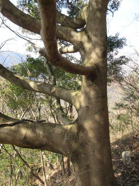 IMG7661JPG奇樹同じ方向に枝
