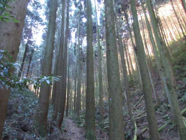 IMG7686JPG杉林を