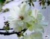 うこん桜写真 サイン