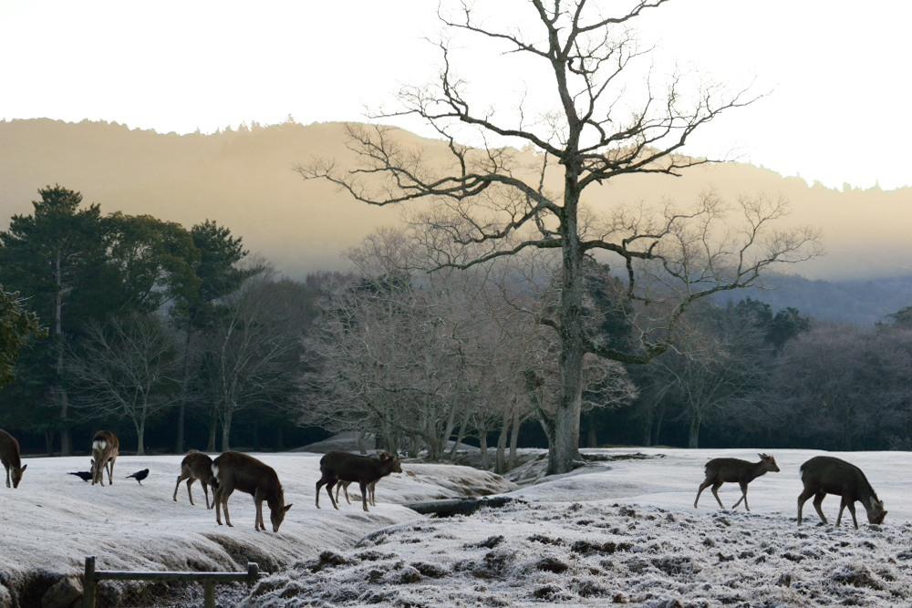 朝の鹿DSC_3899